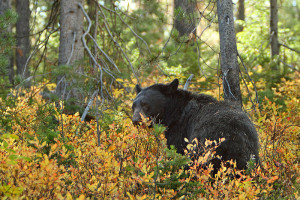 800px-Grand_Tetons_black_bear